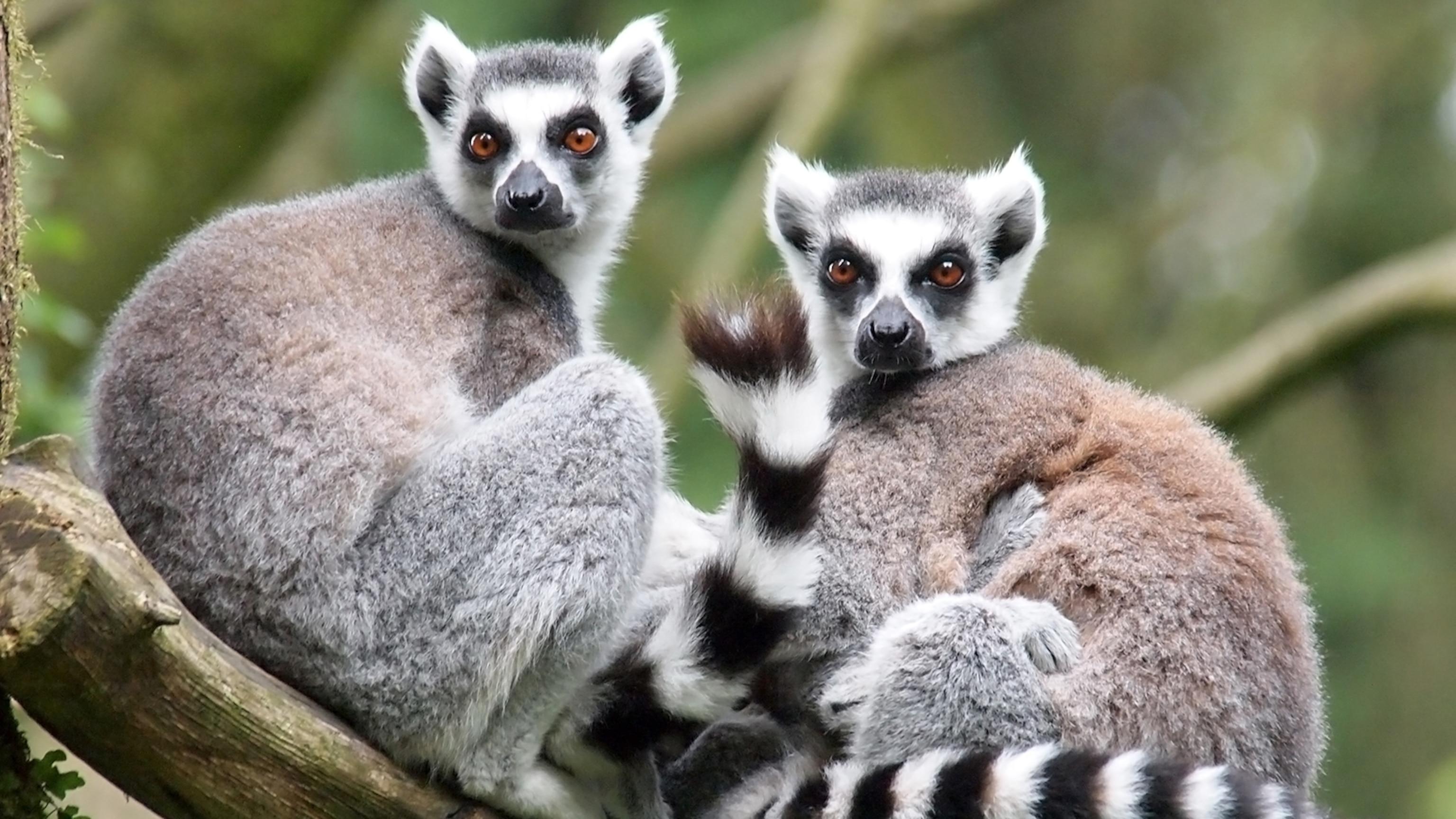 ring-tailed-lemur-pair.jpg