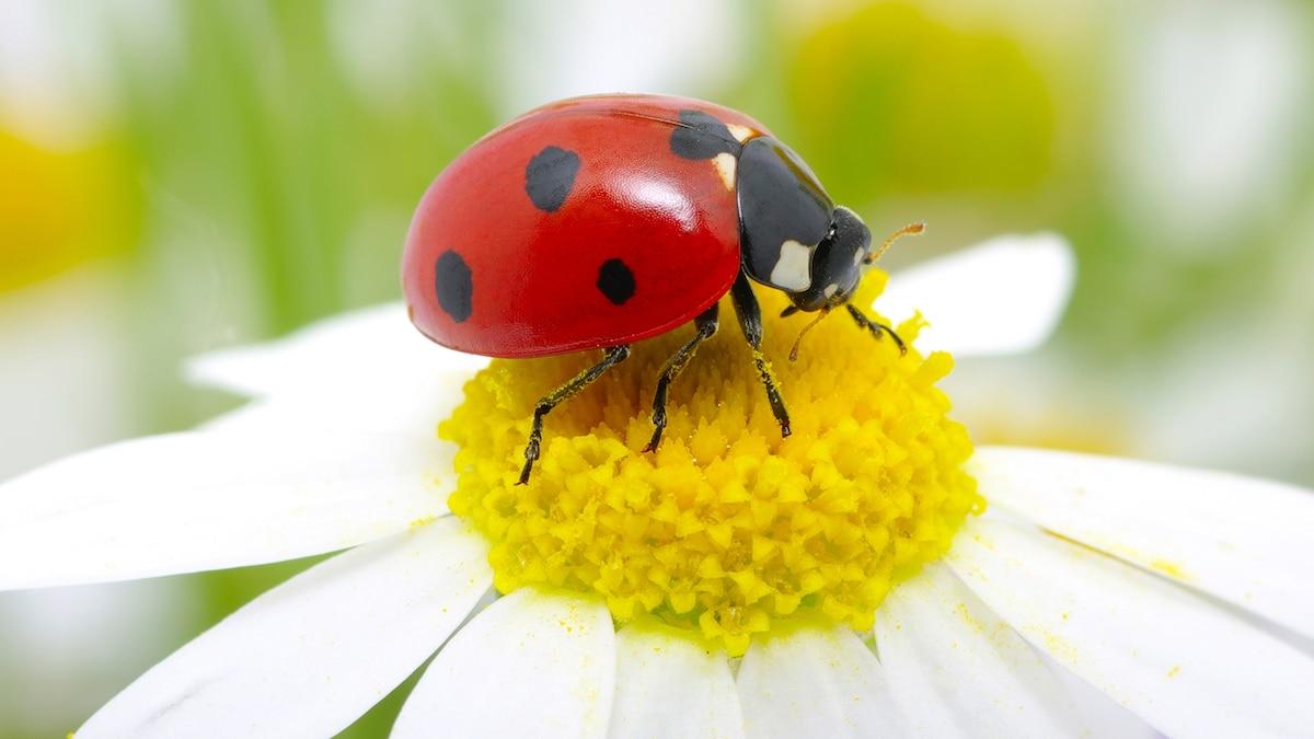 Ladybug Facts And Photos