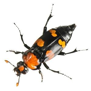 Изображение черного жука с оранжевыми пятнами.