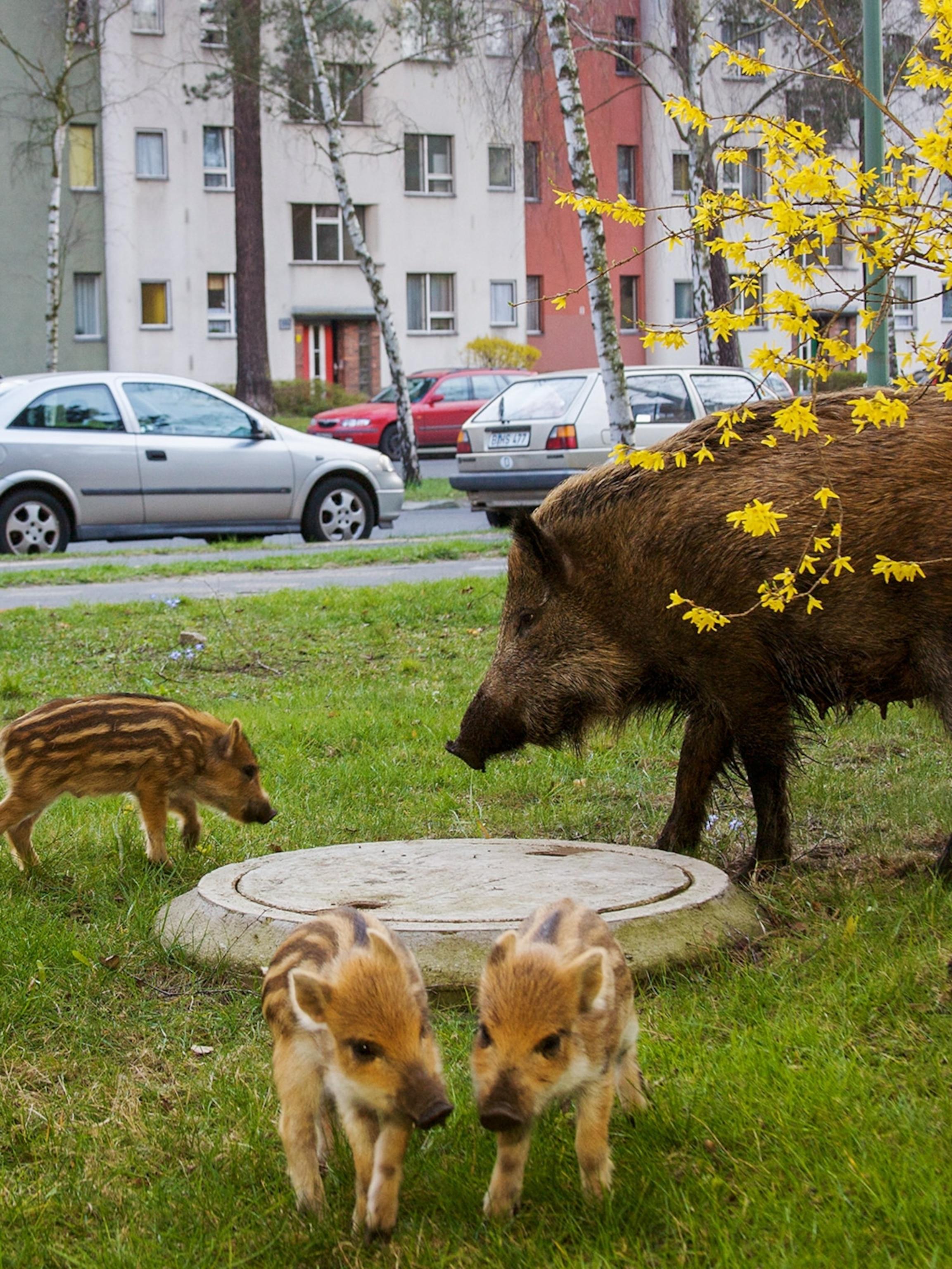 Berlin cougar bar Cougars in