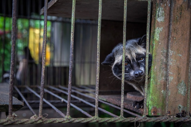 A captive civet, likely taken from the wild, looks out from a wire cage where it is kept to produce kopi luwak, the world's most expensive coffee. PHOTOGRAPH BY NICKY LOH, GETTY IMAGES FOR WSPA