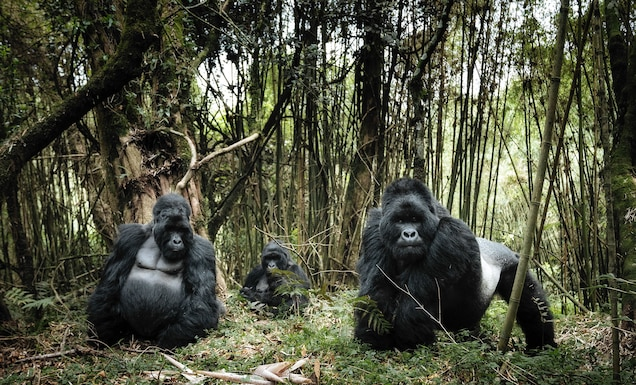 """<p>One of the most striking volcanic landscapes in Africa, <a href=""""https://www.nationalgeographic.com/magazine/2016/07/virunga-national-parks-africa-congo-rangers/?beta=true"""" target=""""_blank"""">Virunga National Park</a> is a refuge for numerous birds, reptiles, hippos, and its most iconic: the rare and globally threatened mountain gorilla.</p> <p><a href=""""https://whc.unesco.org/en/list/63"""" target=""""_blank"""">Virunga National Park</a> was added to the Danger List in 1994. Both the guards and wildlife have been subjected to ongoing violence in the decades since, including the slaughter of hippos and gorillas. In April 2018, <a href=""""https://www.nationalgeographic.com/magazine/2016/07/virunga-national-parks-africa-congo-rangers/?beta=true"""" target=""""_blank"""">six guards were killed</a> in an attack—the third this year.</p>"""