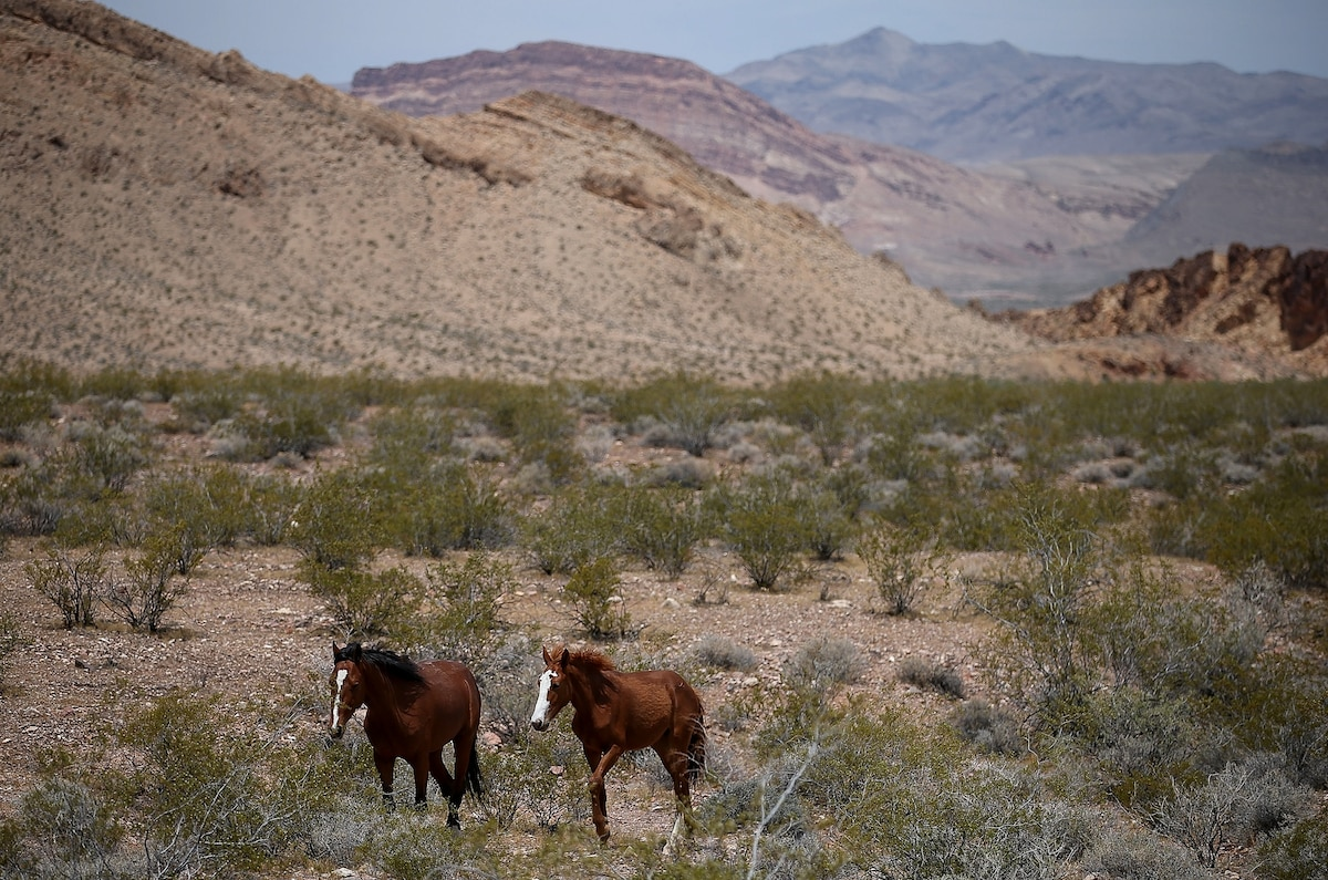 Wild horses and donkeys dig wells in the desert, providing water for wildlife