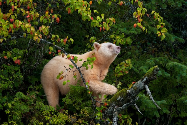 POLL: Should the Rare Spirit Bear Be Protected From Hunters?