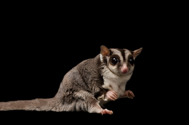 Possums Facts And Photos