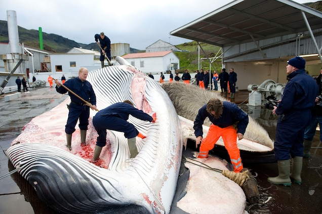 Whalers in Iceland cut open a fin whale, the second largest mammal, after blue whales. The country sells its meat to Japan. Photograph by Halldor Kolbeins, AFP/Getty Images