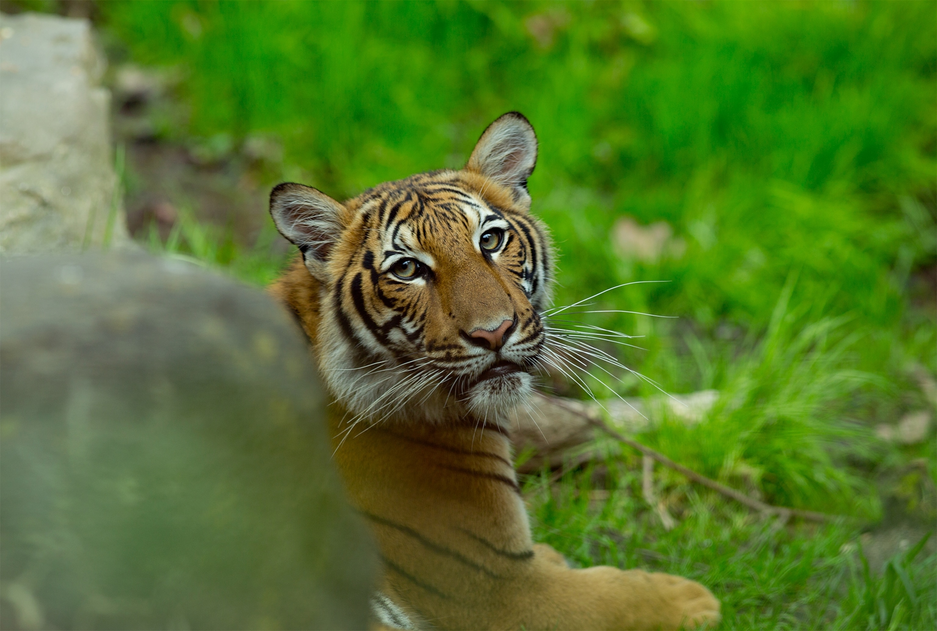 Seven More Big Cats Test Positive For Coronavirus At Bronx Zoo