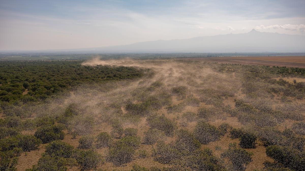 A locust plague hit East Africa. The pesticide solution ...