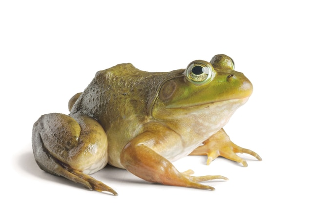 American Bullfrog | National Geographic