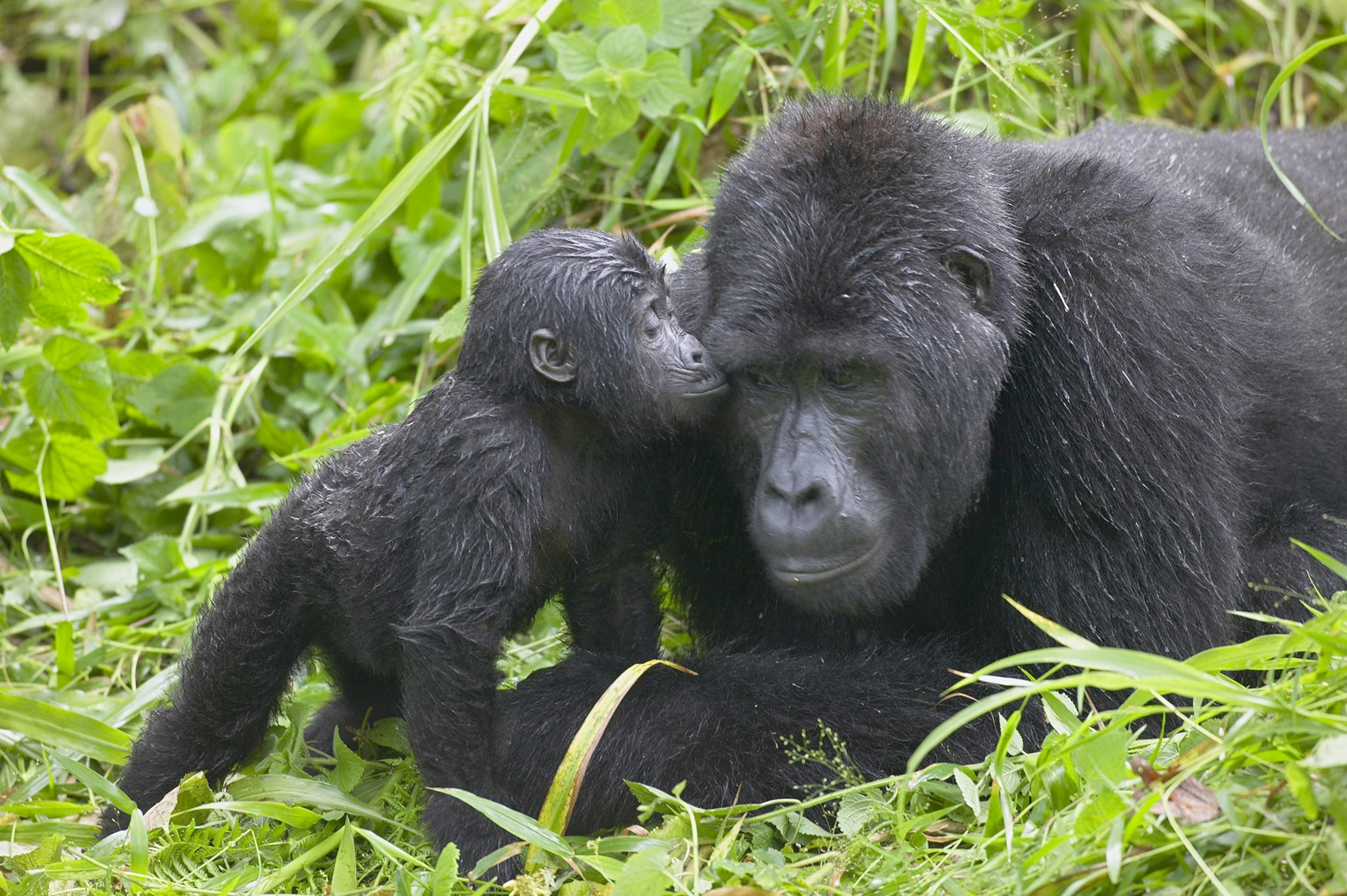 Why You Need To See Africa S Mountain Gorillas In Uganda