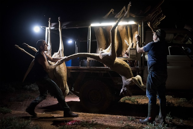 Kangaroo hunts take place at night, often in remote areas. Tony Gyss, right, is a professional hunter, which means he must abide by a national code for humane killing. Photograph by Adam Ferguson, The New York Times/Redux
