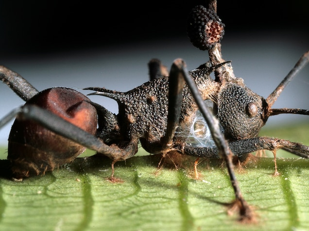 """Zombie Ant"""" Fungus Under Attack—By Another Fungus"""