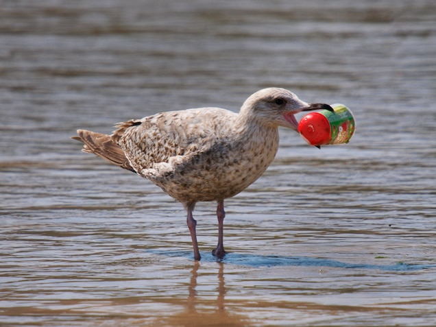 Nearly Every Seabird on Earth Is Eating Plastic