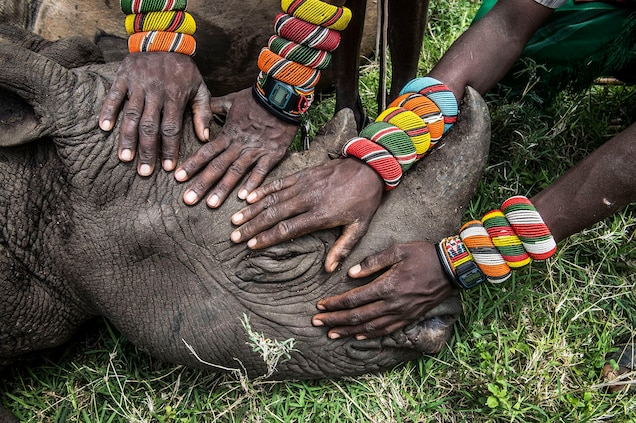 Pictures: Black Rhinos Back in Tribal Africa After 25-Year Absence