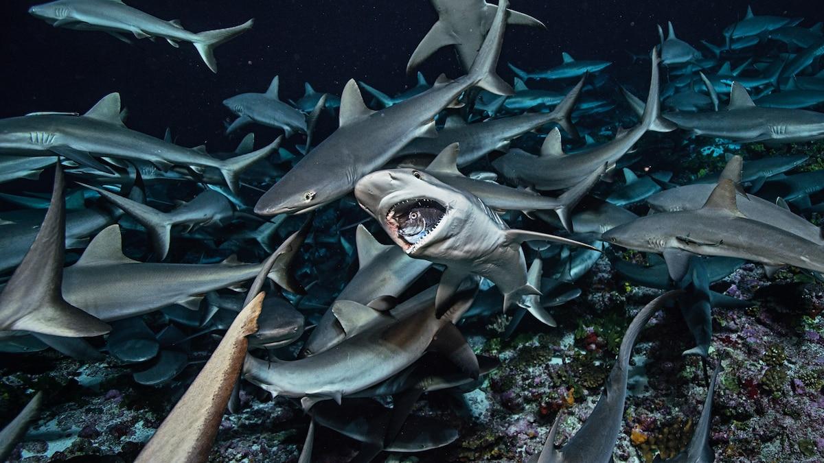 The surprising ways sharks keep the ocean healthy