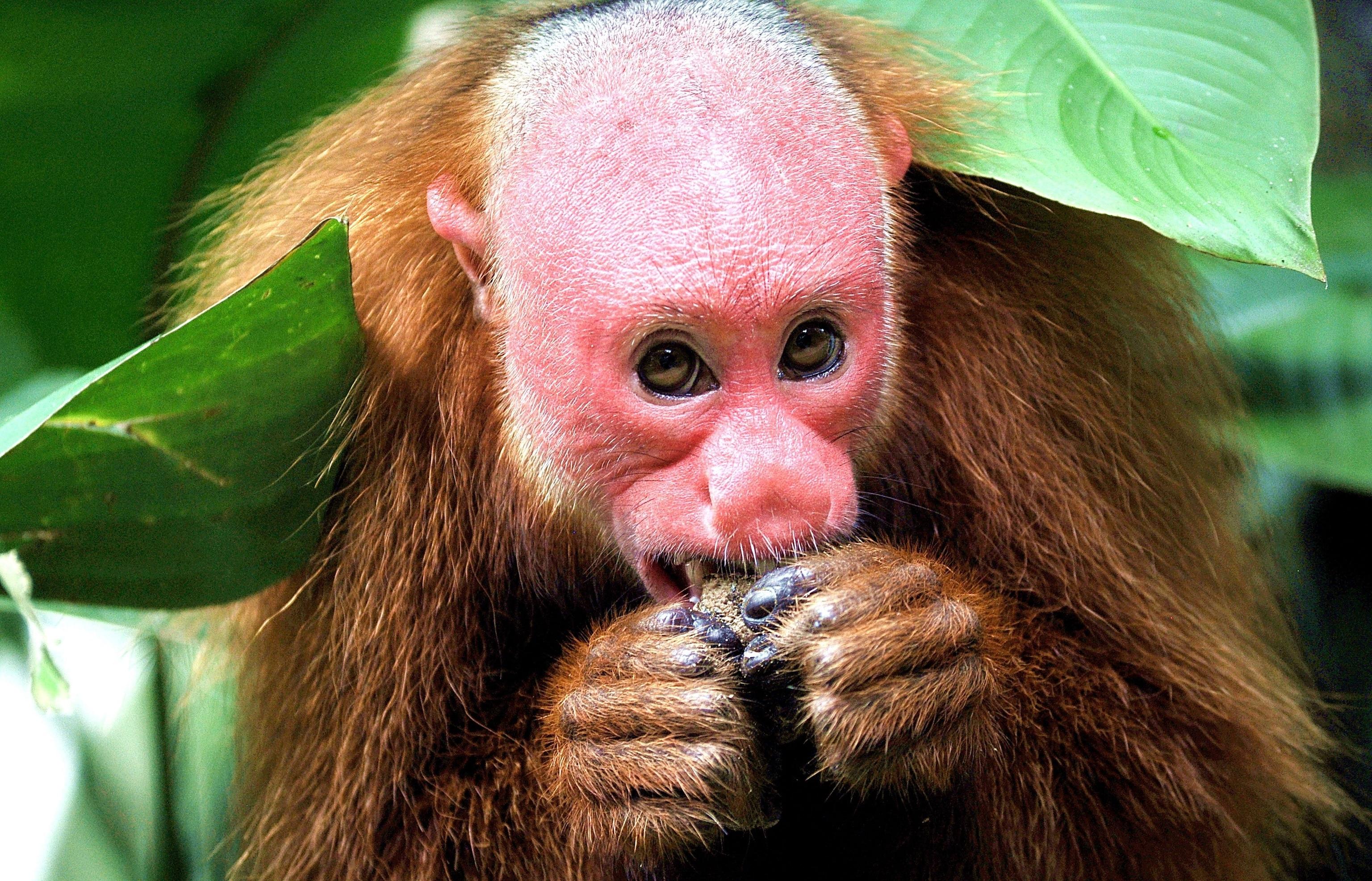 Mammals Monkeys Bald Uakari Coloring Pages