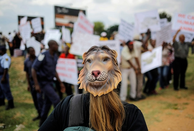A masked activist demonstrates against captive, or canned, lion hunting outside a popular lion park near Johannesburg, South Africa. Trophy hunters often pay tens of thousands of dollars to shoot young lions in a fenced enclosure - Photograph by Kim Ludbrook, EPA/Corbis