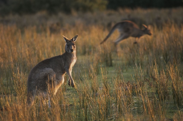 POLL: Should Australia's commercial hunting of kangaroos be banned?