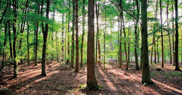 beech trees in Sherwood Forest near Nottingham