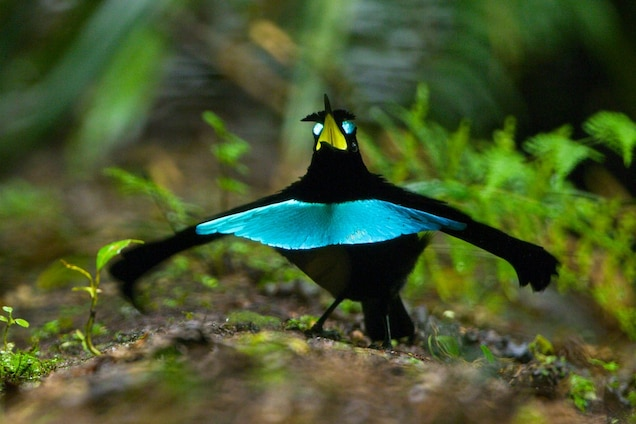 The Vogelkop superb bird of paradise prepares to begin his mating dance. Photograph by Tim Laman