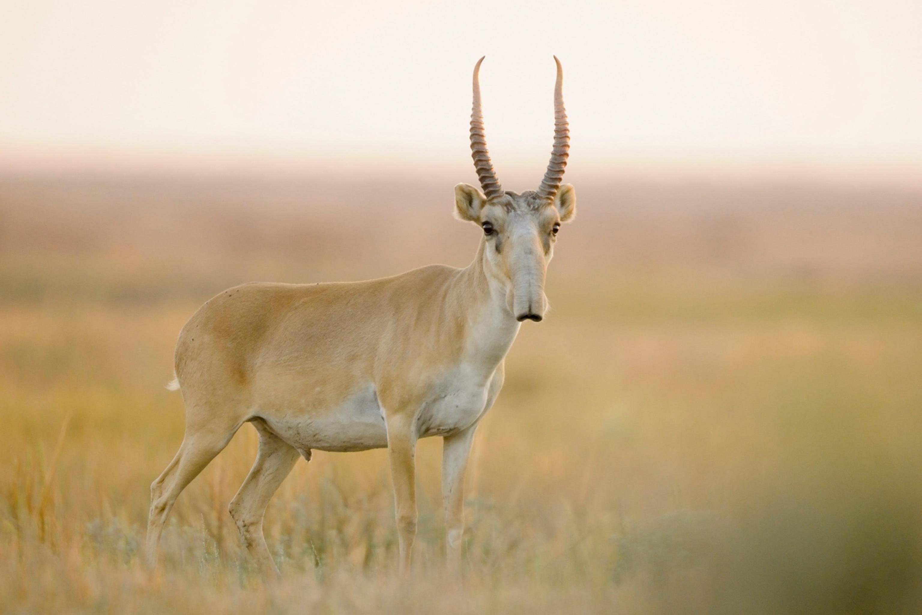 Saigauantilope