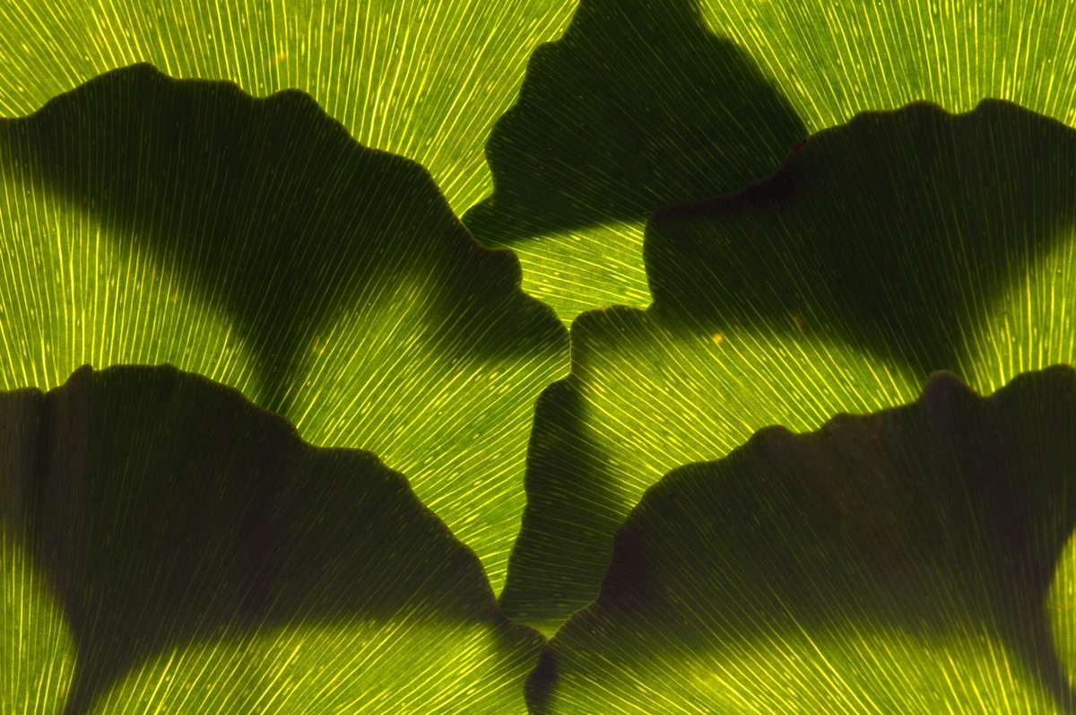Ginkgo trees nearly went extinct. Here's how we saved these 'living fossils.'