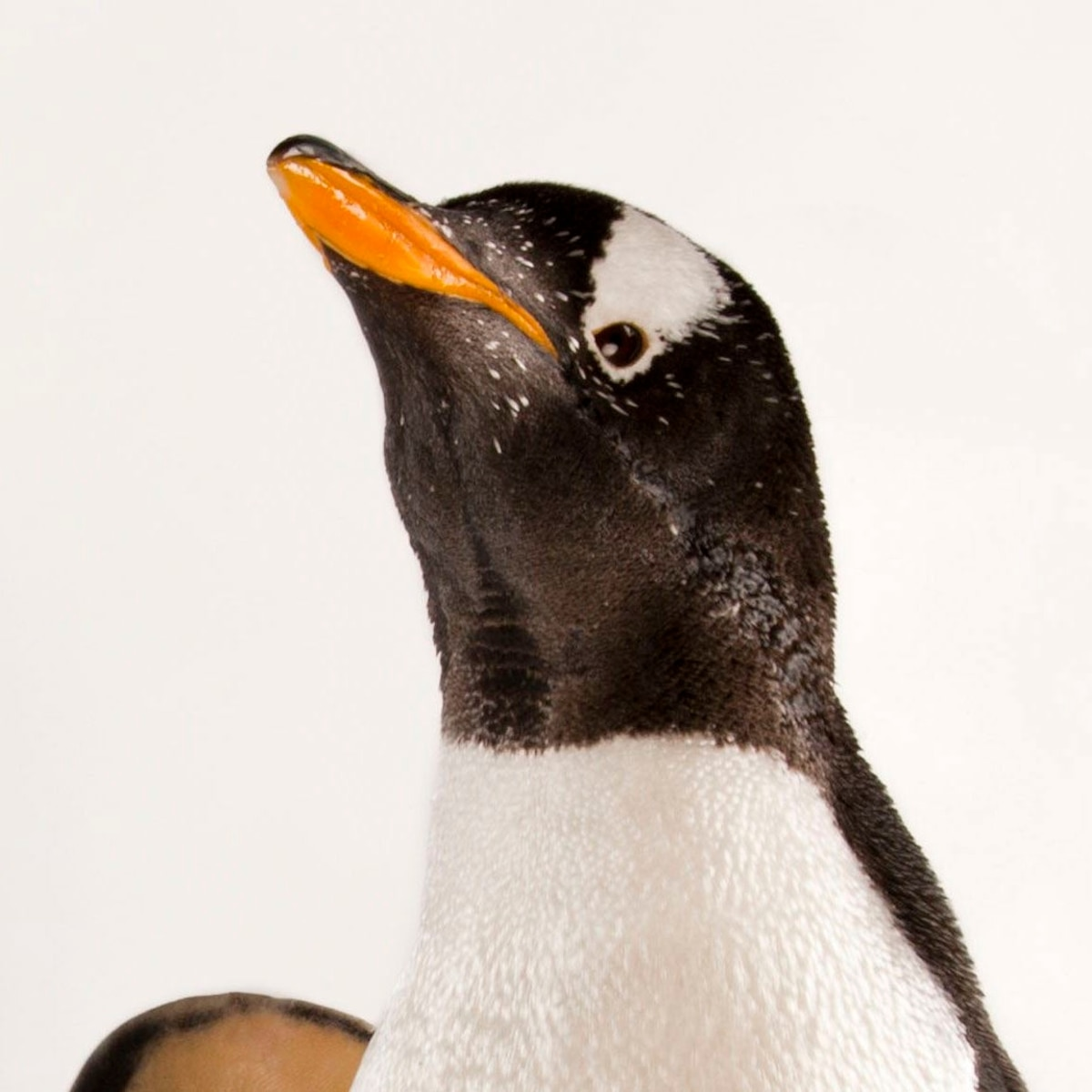 Gentoo Penguin | National Geographic