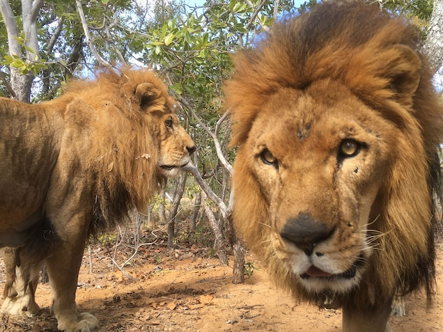 Poachers Target Rescued Circus Lions in Worrying New Trend