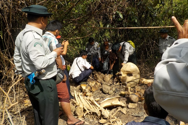 Earlier this year the stench of rotting flesh drew people from a nearby village to a riverbed in southwestern Myanmar. There they found the decaying bodies of 25 skinned elephants, along with bones and a cache of drying skins. Photograph courtesy Compass Films