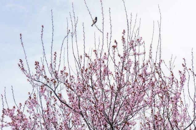Beautiful Cherry Blossoms Photos