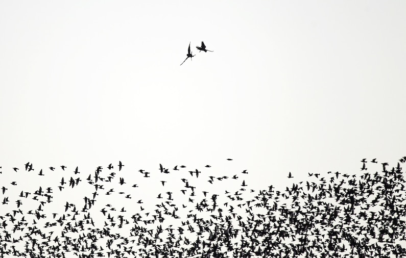 A falcon fighting a starling silhouetted above many other starlings