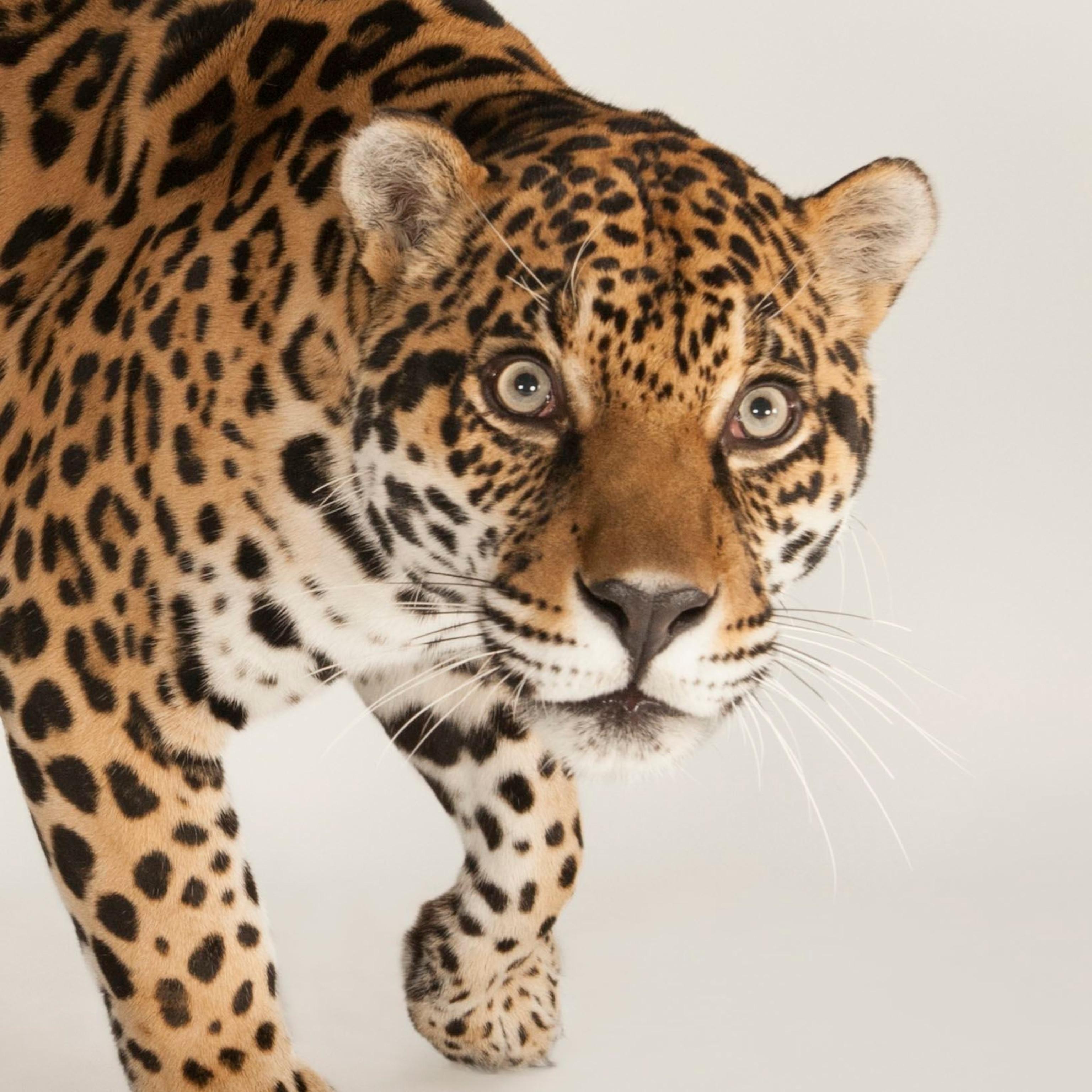 Jaguar, facts and photos