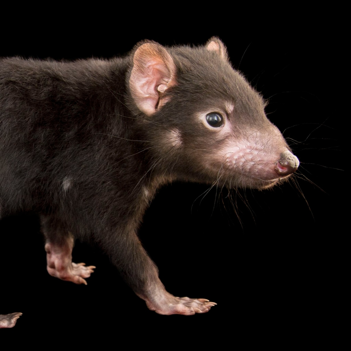 Tasmanian devil, facts and photos
