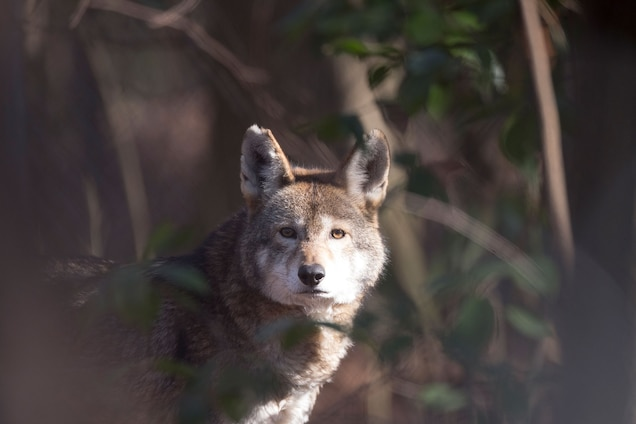 Rule to Allow Hunting Could Doom Rare Red Wolves