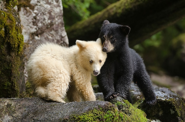 A spirit bear cub huddles with its sibling. For many years First Nations people kept the existence of the white bears secret. Elders feared that if word of them spread, they would be pursued and killed by fur trappers or trophy hunters. Photograph by Ian McAllister, National Geographic Creative