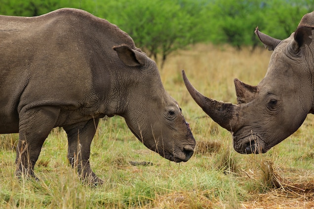 South Africa Backs Away From Legal Rhino Horn Trade