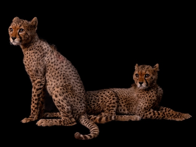 When nine-month-old Apollo and Artemis were rescued, their front paws had been bound with zip ties and half of Artemis's tail was missing. Artemis has since died from feline coronavirus, which can spread quickly among captive cheetahs.