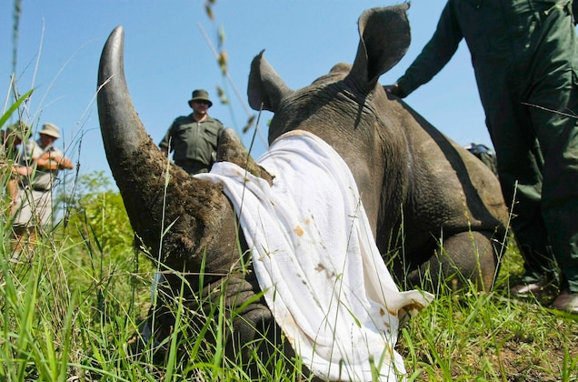 POLL: Should the ban on rhino horn trade be lifted?