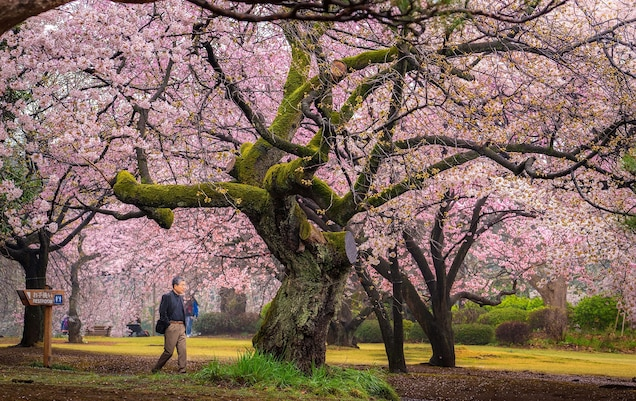 When And Where To See Cherry Blossoms In The U S