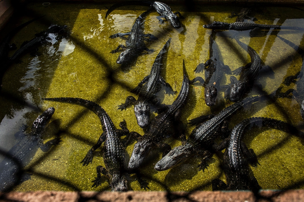 At the more than 90 registered alligator farms in Florida, young animals like these are raised in holding areas and ponds. Photograph by Kirsten Luce, National Geographic