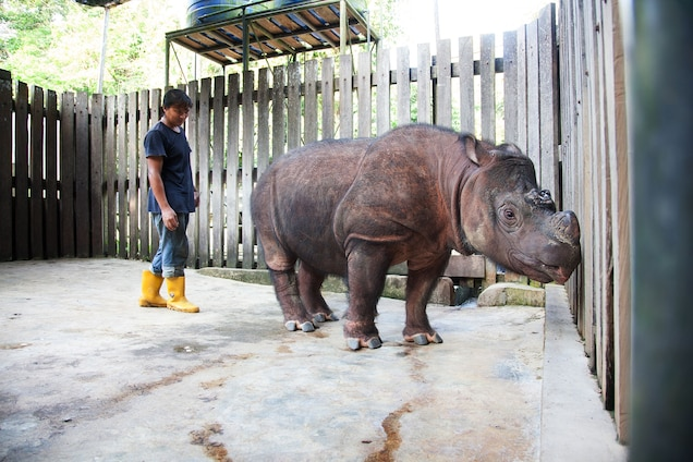 A keeper at a rhino sanctuary in Sabah in Malaysian Borneo inspects a Sumatran rhino rescued from an oil-palm plantation in 2008. Destruction of habitat for plantations and human settlement is a major threat to rhinos in Borneo's rain forest. Photograph by Rasmus Gren Havmøller