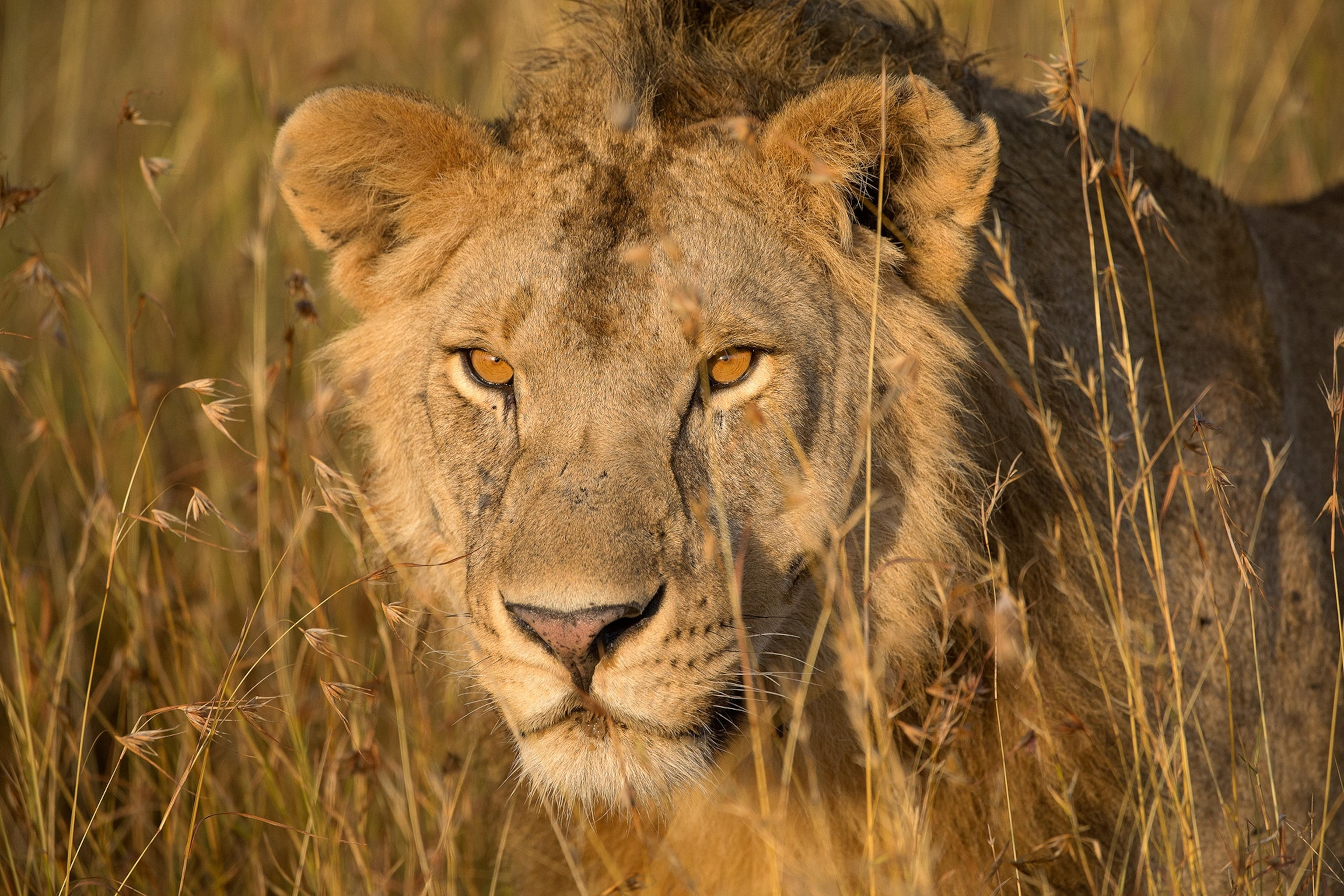A closer look at lion evolution offers hope for saving the big cats