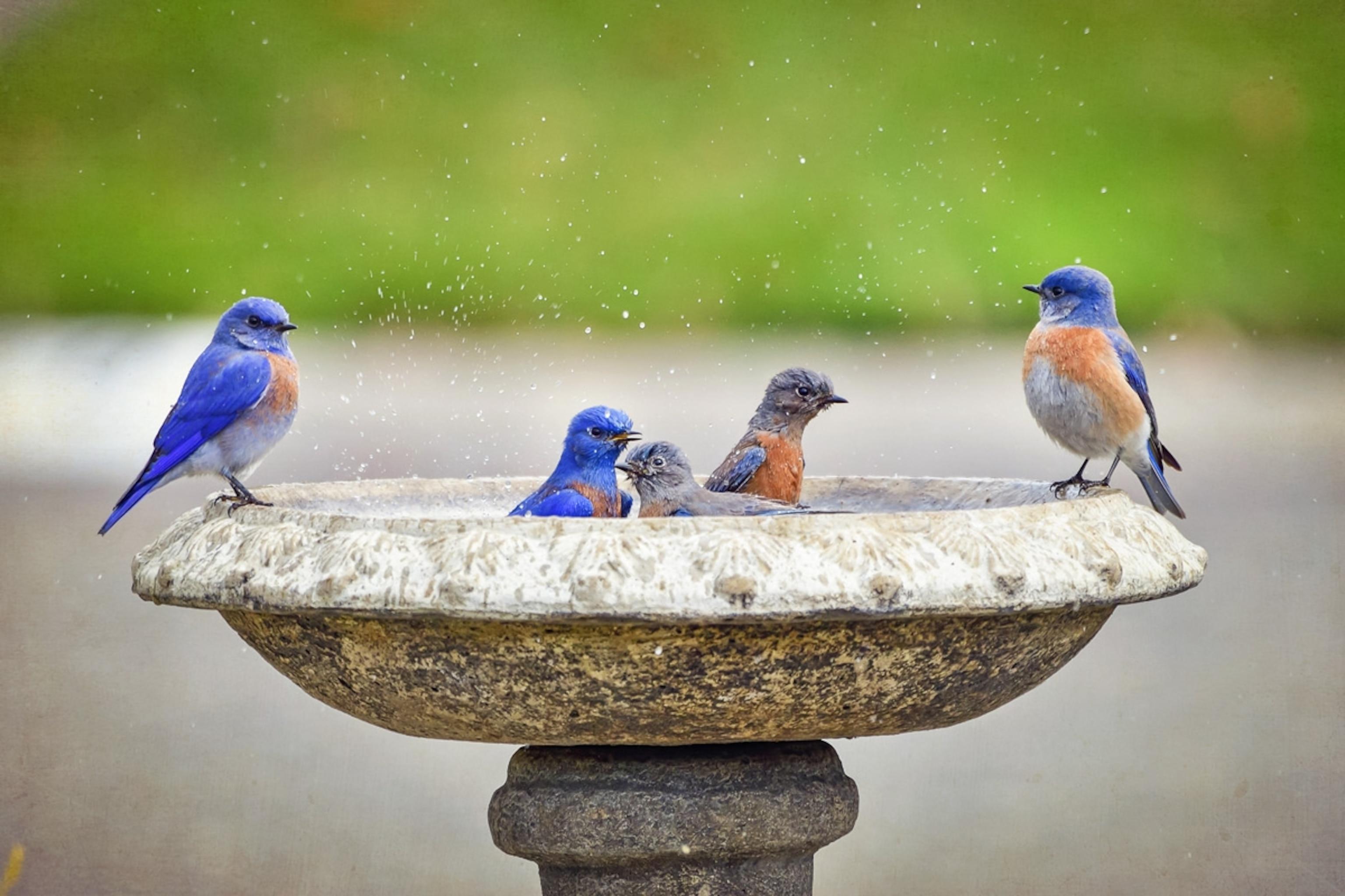 Birds-in-Birdbath_Bird-Happiness_FAMILY_0421.jpg