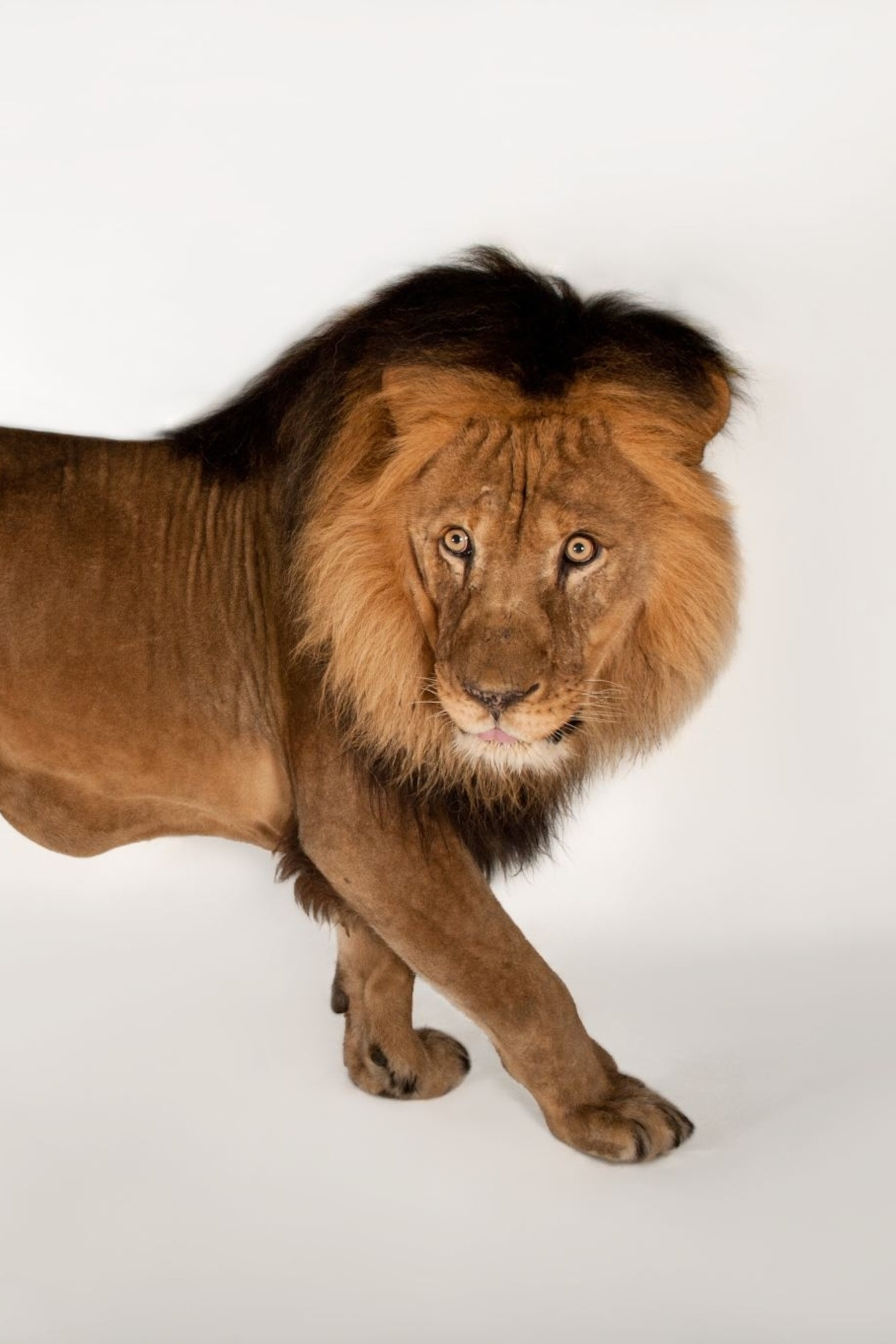 African lion, facts and photos