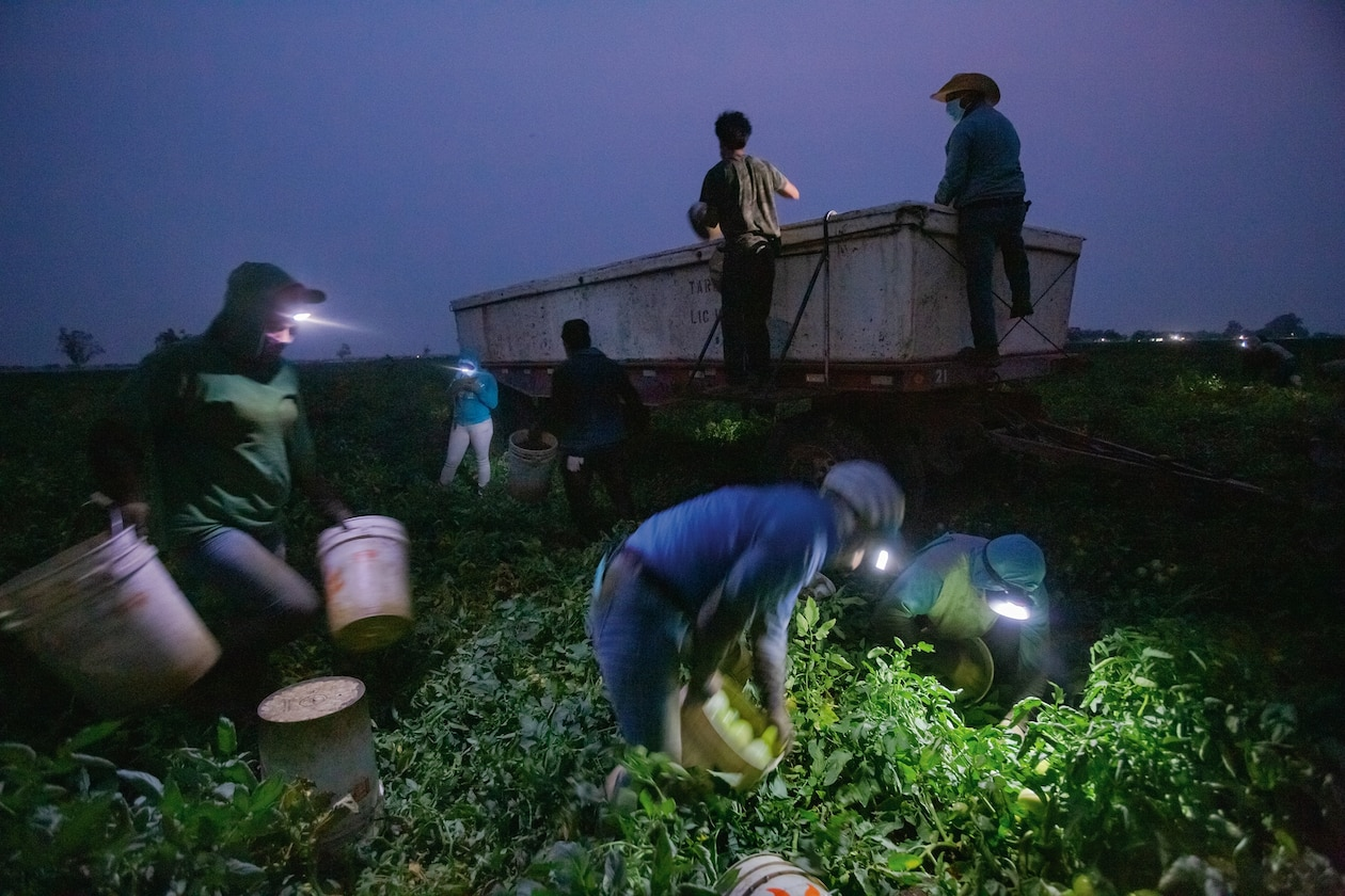 Picture of workers with headlight picking tomatoes in dark