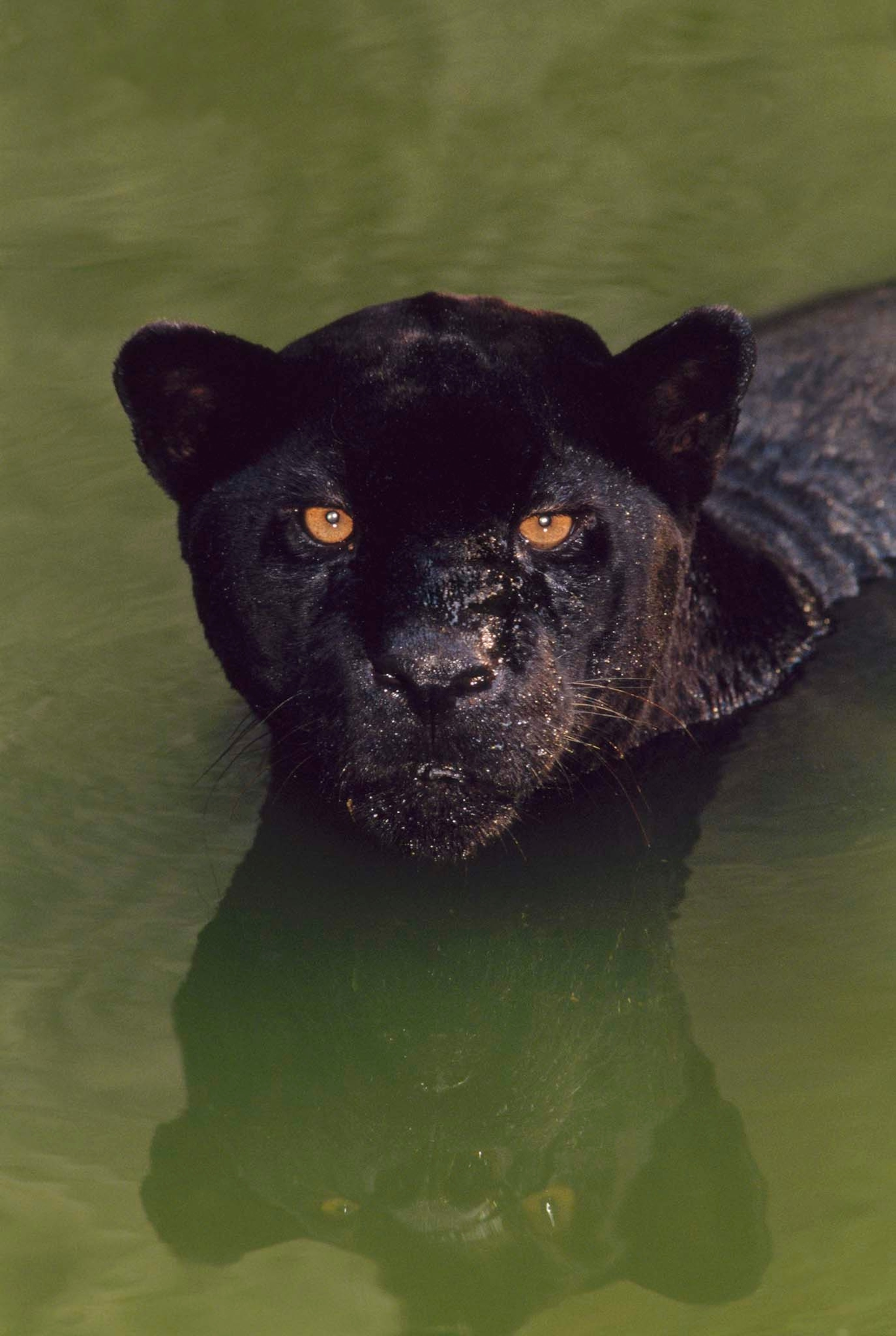 What Is A Black Panther A Comic Book Hero And A Kind Of Big Cat