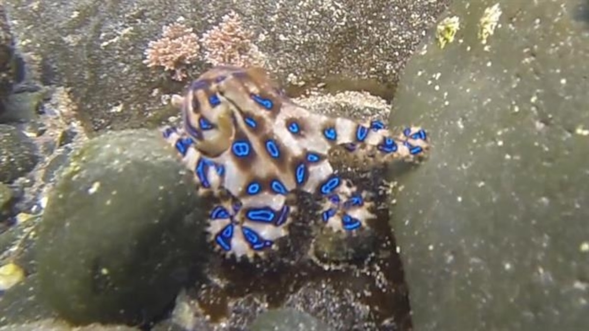 Octopuses and Squids - Spanglers Scuba