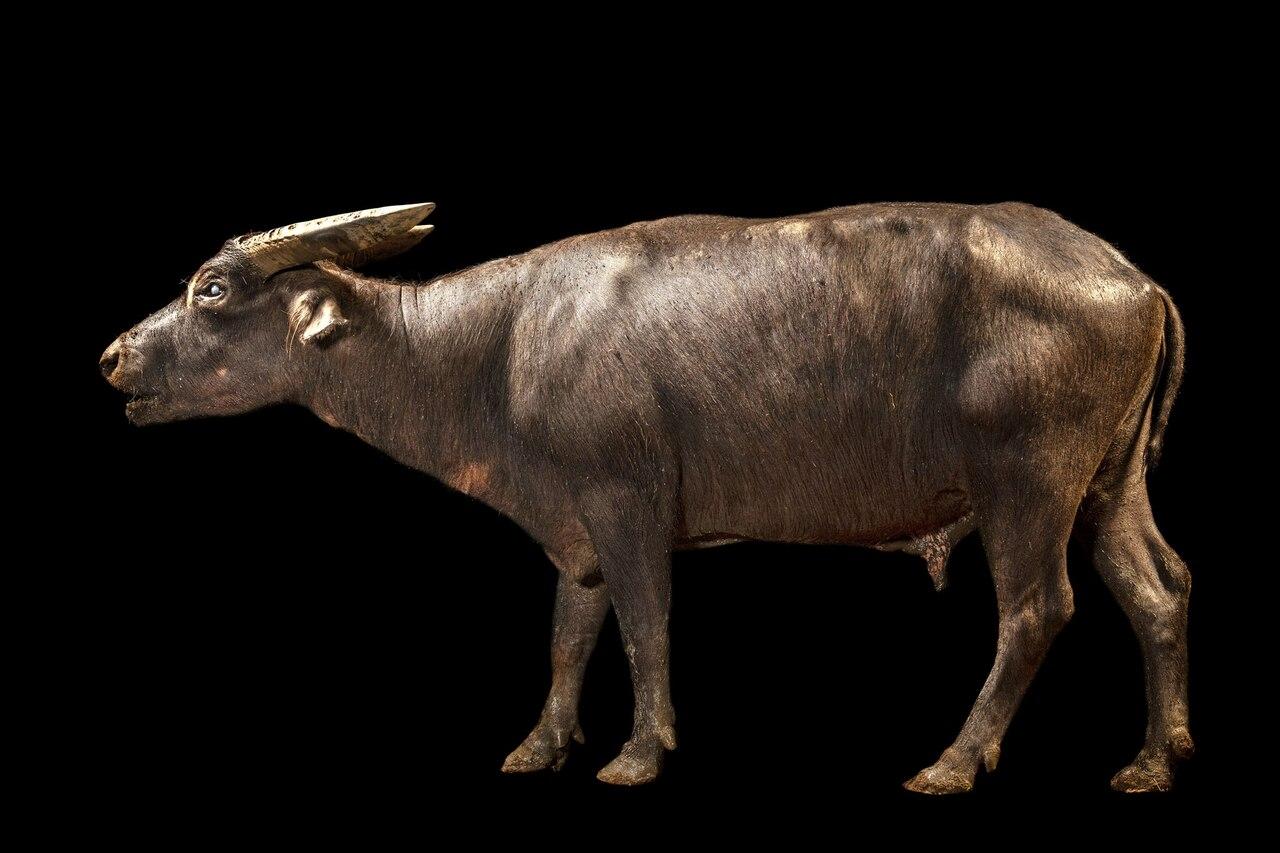 Изображение буйвола