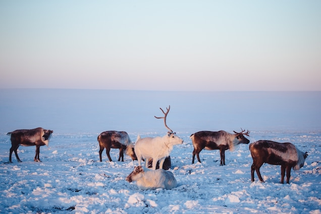 Tame reindeer stand near a herder's tent in western Yakutia. A growing amount of velvet antlers are being taken legally from privately owned reindeer in Russia, where the practice is unregulated. PHOTOGRAPH BY MAX AVDEEV