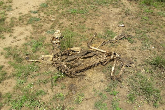 Skeletons were all that remained of some of the lions, their bones picked clean by hyenas. PHOTOGRAPH BY JIMMY KISEMBO
